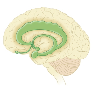 Lymbic System ofBrain